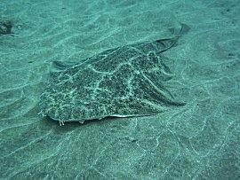 Gitaarhaai op duikstek Sardina