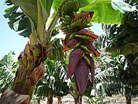 Een tros bananen in wording