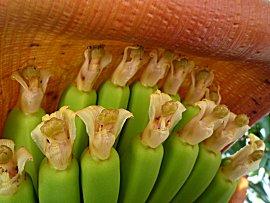 Bloeiwijze van de banaan