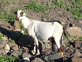 Fuerteventura het geiten eiland