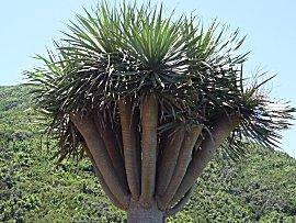 Drakenbloedboom
