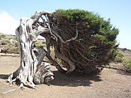 Sabina,heersende noord oost wind vervormt de boom