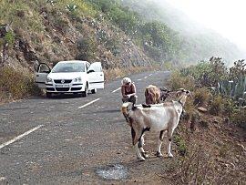 geiten op de weg bij Isora, 2 pootjes aan elkaar gebonden, kunnen ze niet zo snel lopen