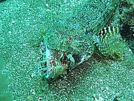 Een lizzard vis eet een schorpioenvis bij Taliarte