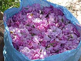 Zakken vol met rozen worden er geoogst