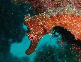 zeepaardje in detail op duikstek Sardina
