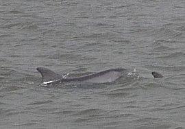 Dolfijnen op de Casamance