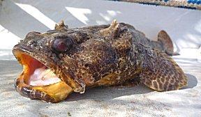 Frogfish, kikkervis, gevangen met de fuik