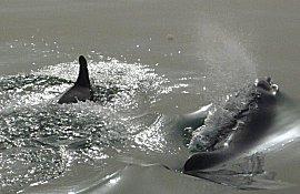 Dolfijnen in de Gambia