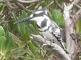 IJsvogel in de mangrove