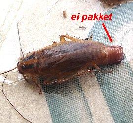 Een gevangen kakkerlak met een eipakket