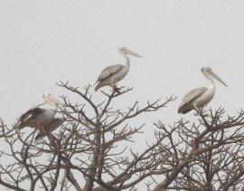 Pelikanen verzamlen in de Baobab boom