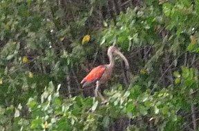 De rode ibis zit tegenover ons in de mangrove