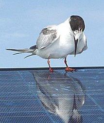 Vogel op zonnepaneel