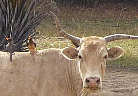 Yellow-billed oxpeckers op een os