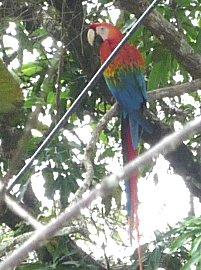 Eindelijk een tropisch regenwoud vogel, een ara in de mango boom.
