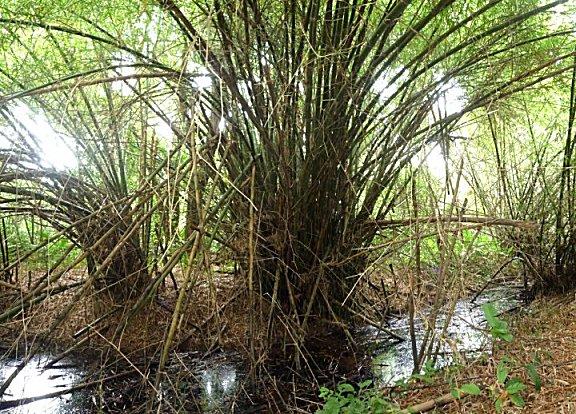 Grote bamboe op het terrein van de Peperpot.