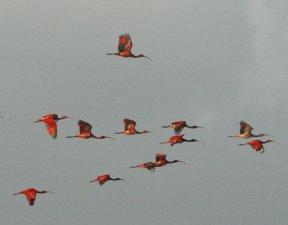 Vlucht rode ibissen, foto Rafiki