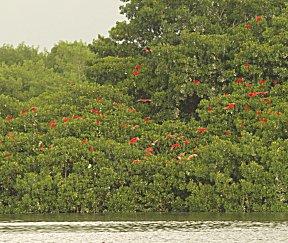 Rode ibissen in de mangrove, foto Rafiki