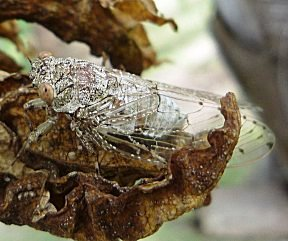 Een cicade die iedere avond voor tropische sferen zorgt met hun gepiep.