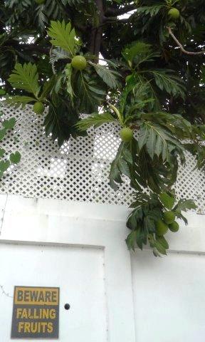 Oop de parkeerplaats wordt gewaarschuwd voor vallen de vruchten van de broodboom.