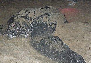 Schildpadden kijken op Matura beach