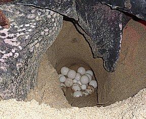 Leatherback schildpad legt eieren.