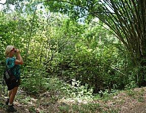 Motmot trail, Ernie kijkt naar vogeltjes in de reuze bamboe.