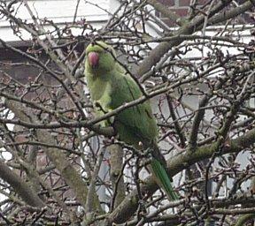 Vanaf het blakon van Erik's moeder in Den Haag zien we meer tropische vogels dan in Suriname.