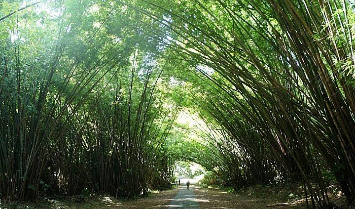 De wandeling met Robin gaat door de Bamboe cathedraal