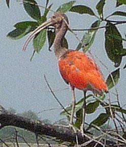 De rode ibis blijft ons verbazen met zijn kleuren.