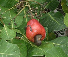 Welke fruit is dit ?