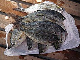 2 Kg verse vis voor Euro 2,-